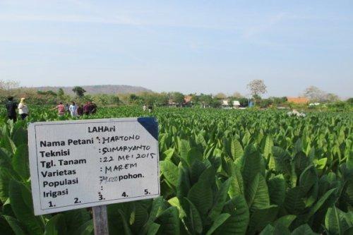 Pertanian tembakau kemitraan di Rembang.
