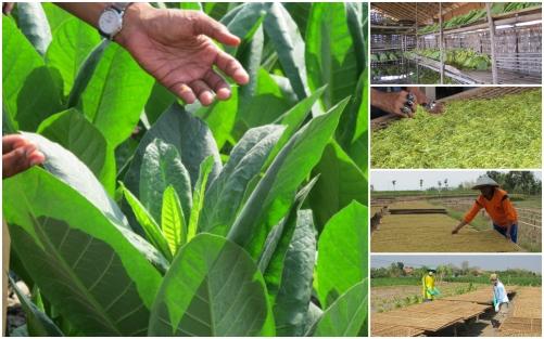 Pertanian tembakau Rembang.